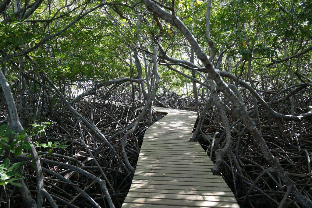 Mangrove en Martinique